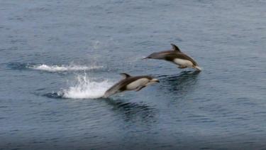 今年も陸奥湾にイルカがやってきた!